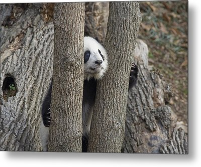 A Baby Panda Plays On A Branch Metal Print by Taylor S. Kennedy