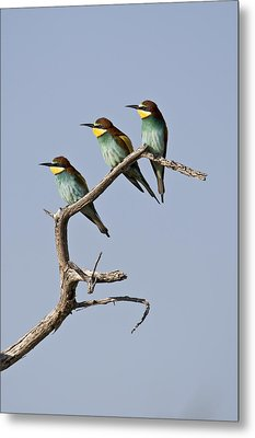 A Group Of Bee-eaters Resting On Branch Metal Print by Roy Toft
