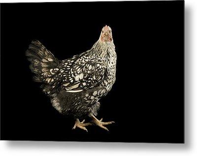 A Silver Laced Wyandotte Chicken Metal Print by Joel Sartore