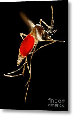 Aedes Aegypti Mosquito Metal Print by Science Source