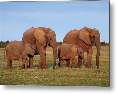 African Elephants Metal Print by Peter Chadwick