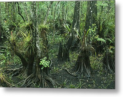 Air Plants Adorn The Trees In South Metal Print