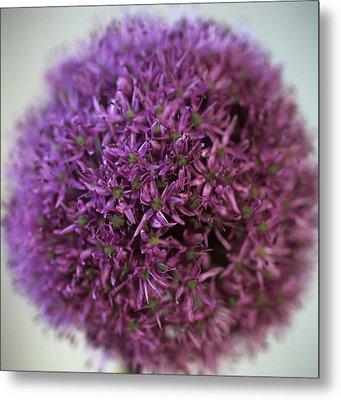 Allium Flower (allium Sp.) Metal Print by Cristina Pedrazzini