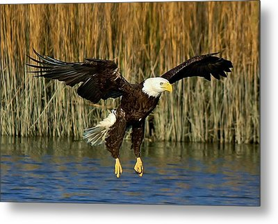 American Bald Eagle Metal Print by Paulette Thomas