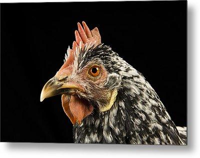 An Ancona Chicken At The Soukup Farm Metal Print by Joel Sartore