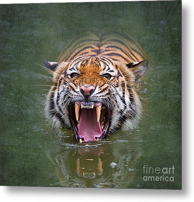 Angry Tiger Metal Print by Louise Heusinkveld