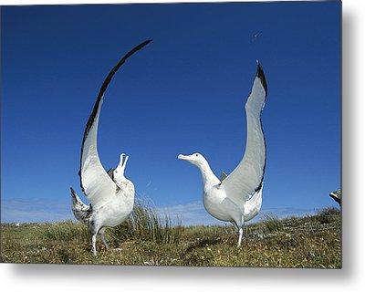 Antipodean Albatross Diomedea Metal Print by Tui De Roy