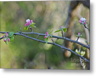 Apple Blossoms Metal Print by Sean Griffin