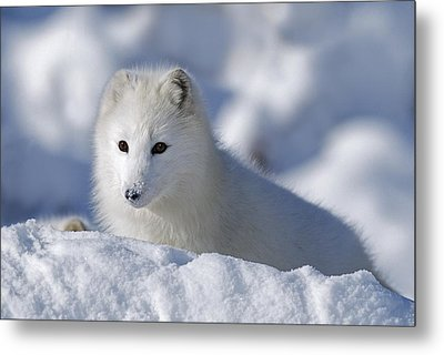Arctic Fox Exploring Fresh Snow Alaska Metal Print by David Ponton