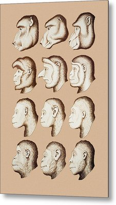 Artwork Of Twelve Catarrhines, 1870 Metal Print by Mehau Kulyk