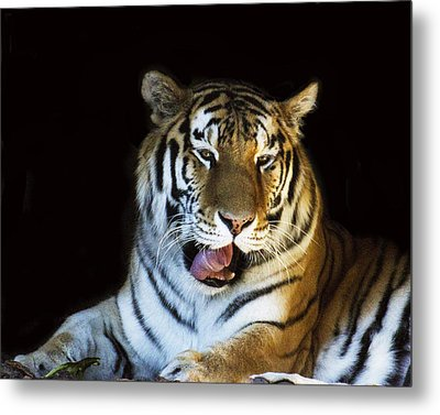 Awaking Tiger Metal Print