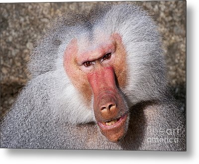 Baboon Metal Print by Andrew  Michael