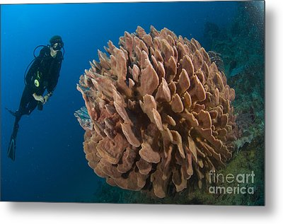 Barrel Sponge And Diver, Papua New Metal Print by Steve Jones
