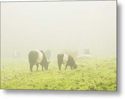 Belted Galloway Cows Grazing On Foggy Farm Field Maine Metal Print by Keith Webber Jr