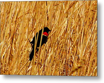 Blackbird In The Reeds Metal Print