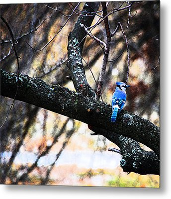 Bluejay Metal Print by Simone Hester