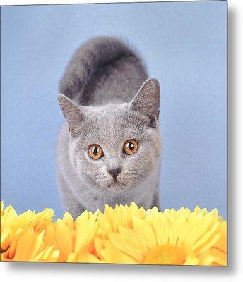 British Shorthair Kitten Metal Print by Waldek Dabrowski