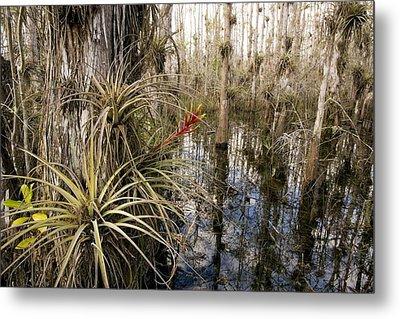 Bromeliad (tillandsia Fasciculata) Metal Print by Bob Gibbons