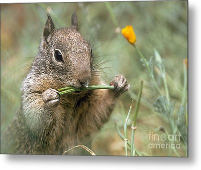 Metal Print featuring the photograph California Ground Squirrel by Doug Herr