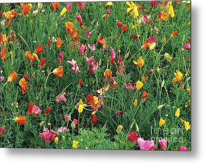 California Poppies Metal Print by Duncan Smith