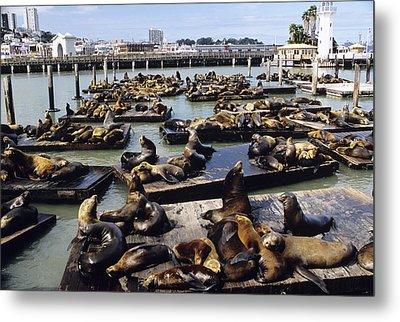 California Sea Lions Metal Print by Alan Sirulnikoff