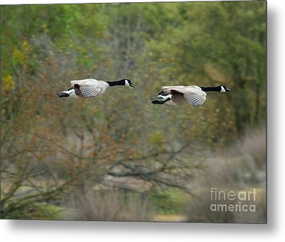 Metal Print featuring the photograph Canada Geese by Doug Herr