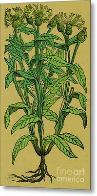 Centaurea Montana, Bachelors Button Metal Print by Science Source