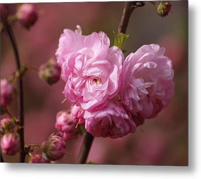 Cherry Blossoms Metal Print by Philip G