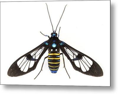 Clearwinged Tiger Moth Tapanti Np Costa Metal Print by Piotr Naskrecki