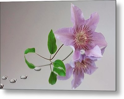 Clematis 'filigree' Metal Print by Shirley Mitchell