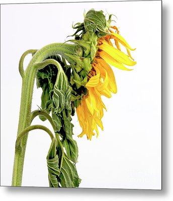 Close Up Of Sunflower. Metal Print by Bernard Jaubert