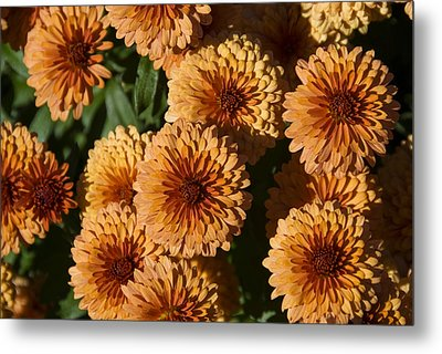 Close-up View Of Orange Mums In Bloom Metal Print by Todd Gipstein