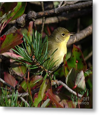 Common Yellowthroat  Metal Print by Deborah Johnson