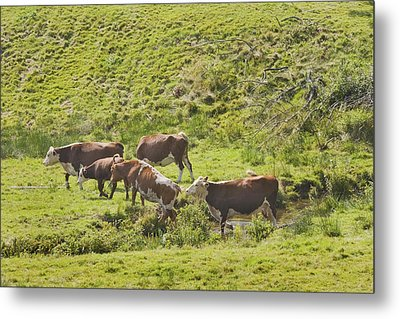 Cows Grazing On Grass In Farm Field Summer Maine Metal Print by Keith Webber Jr