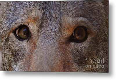 Coyote Eyes Metal Print by DiDi Higginbotham