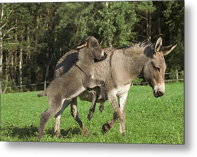 Donkey Equus Asinus Adult With Foal Metal Print by Konrad Wothe