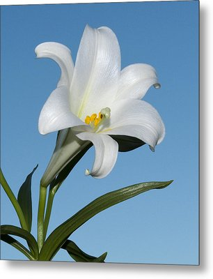 Easter Lily Metal Print