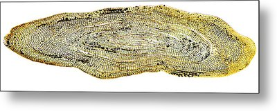 Eel Scale, Light Micrograph Metal Print by Dr Keith Wheeler