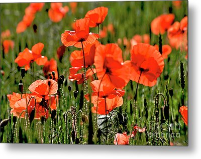 Field Of Poppies. Metal Print by Bernard Jaubert