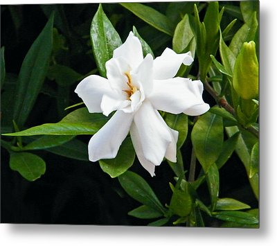 Metal Print featuring the photograph Gardenia by Brian Wright
