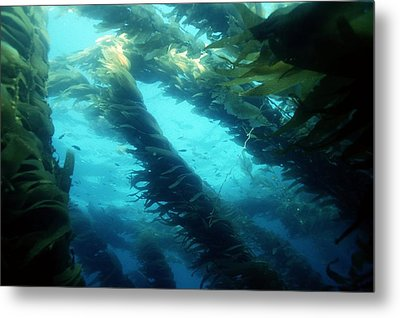 Giant Kelp Metal Print by Georgette Douwma