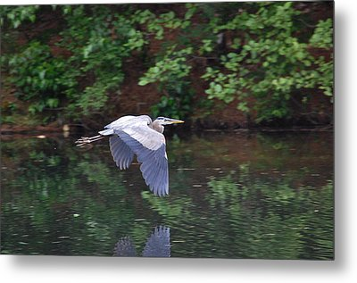 Great Blue Heron Flying Low Metal Print by Mary McAvoy