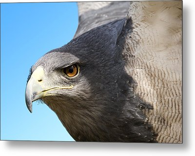 Great-chested Buzzard Eagle Metal Print by Power And Syred