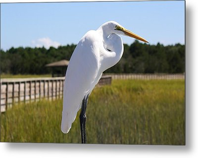 Great White Egret In The Marsh Metal Print by Paulette Thomas