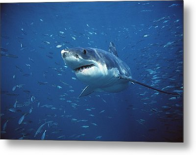 Great White Shark Carcharodon Metal Print by Mike Parry