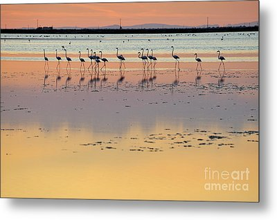 Greater Flamingos In Pond At Sunset Metal Print by Sami Sarkis