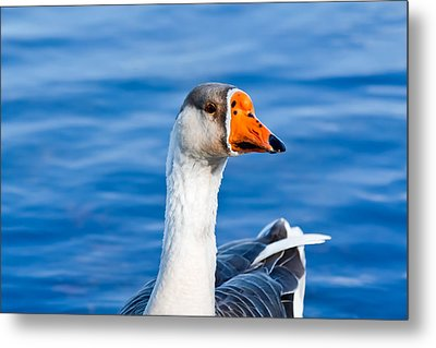 Metal Print featuring the photograph Greater White-fronted Goose 2 by Ann Murphy