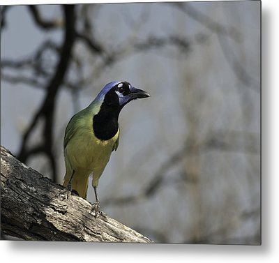 Metal Print featuring the photograph Green Jay by Betty Depee