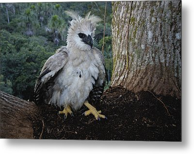 Harpy Eagle Harpia Harpyja Recently Metal Print by Pete Oxford