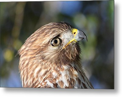 Metal Print featuring the photograph Hawk At Viera by Jeanne Andrews